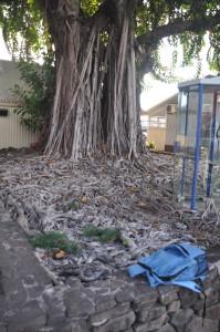 Le radici di quest'albero formano una scultura