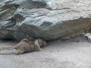 Big Sur - Giochi tra scoiattoli