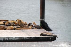 I leoni di mare del Pier 39