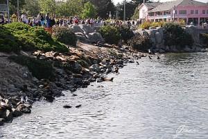 Monterey - Leoni di mare