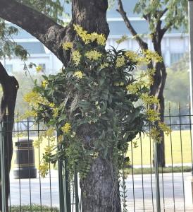 Orchidee sugli alberi in città