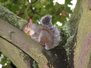 Uno scoiattolo cittadino