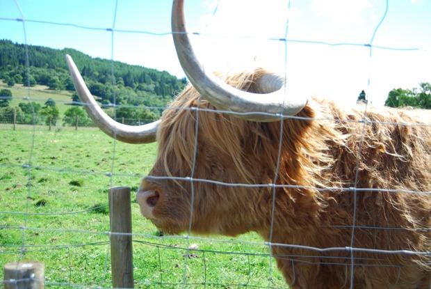 Una mucca scozzese