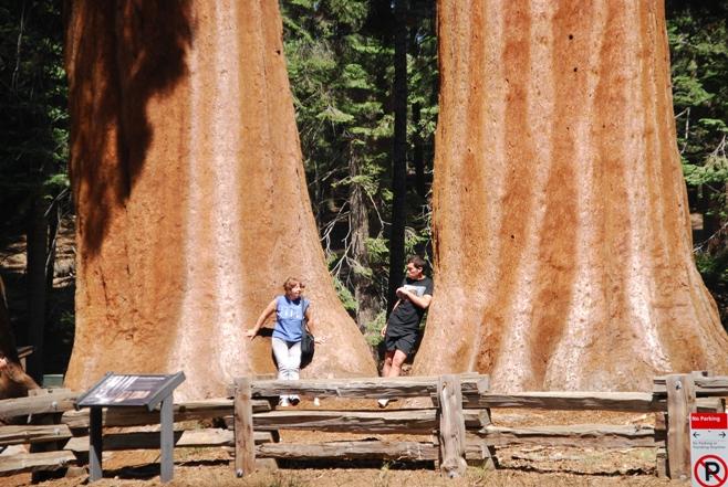 Le sequoie giganti