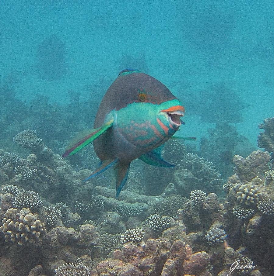 Pesce pappagallo in posa...