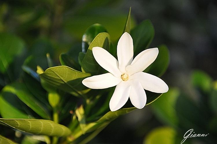 Fiore di tiare
