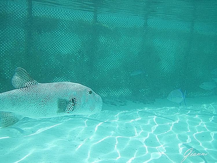 Pesce scatola