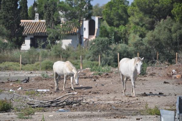 Cavalli della Camargue