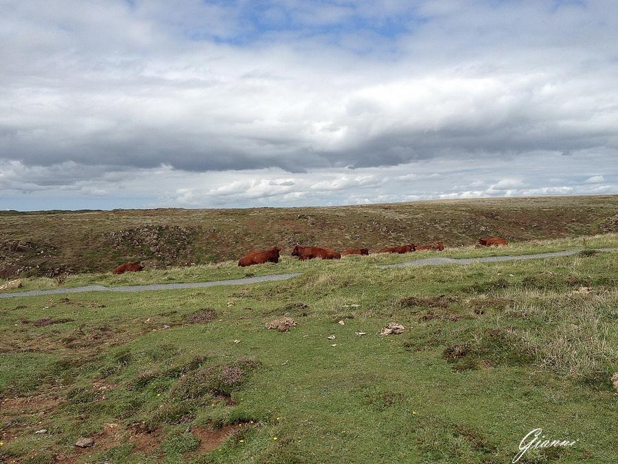 Mucche Kynance Cove