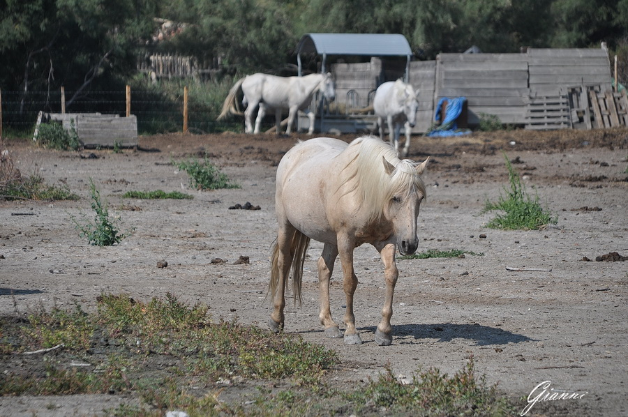 I cavalli bianchi