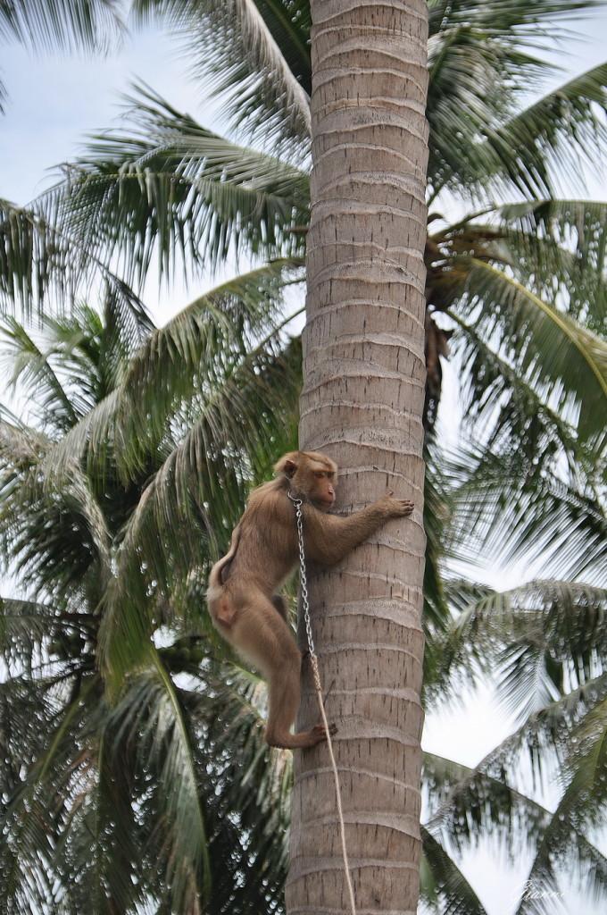 Come ti raccolgo le noci di cocco