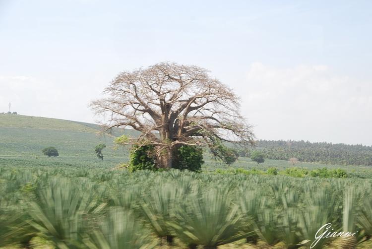 Baobab in una piantagione di ananas