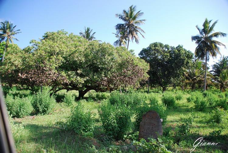 Un albero di anacardi