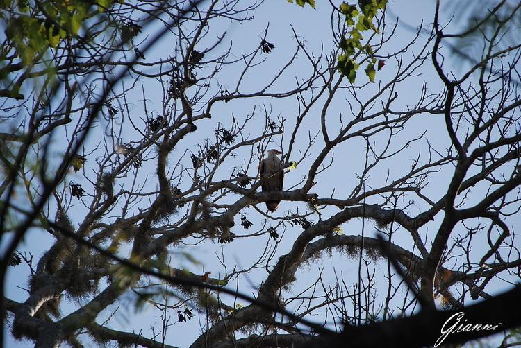 Kenya - Rovine di Gede - Riposo sugli alberi