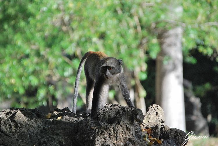 Kenya - Rovine di Gede - Cercopiteco