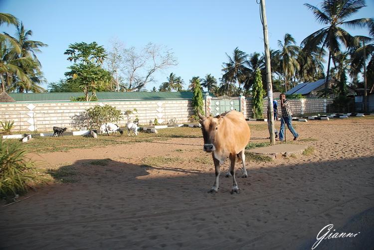 Mucca a Malindi