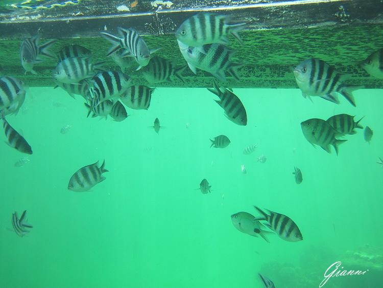 Pesci sotto la barca