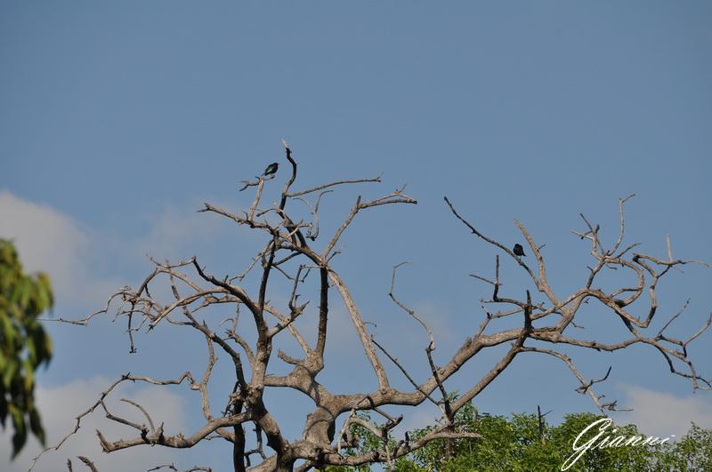 Uccelli su alberi morti