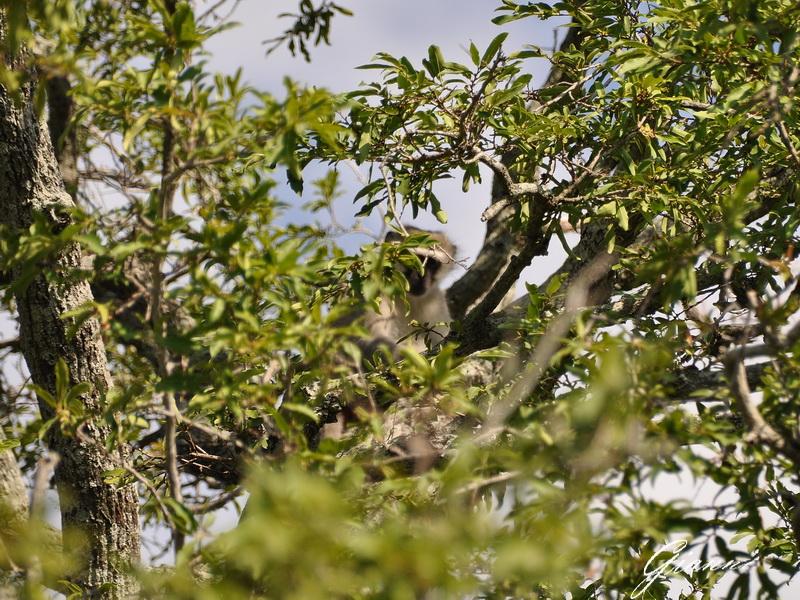 Una scimmietta gioca a nascondino