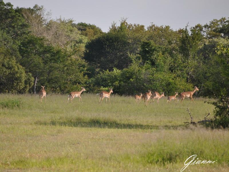 Antilopi in branco