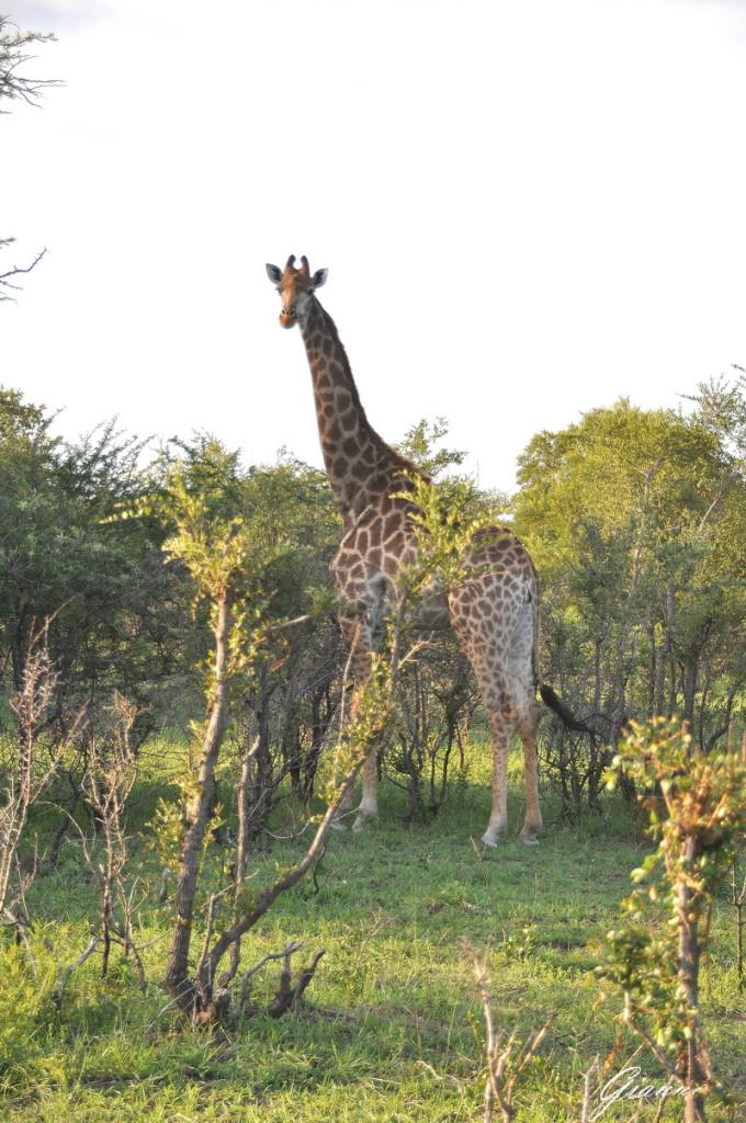 Giraffa al pascolo
