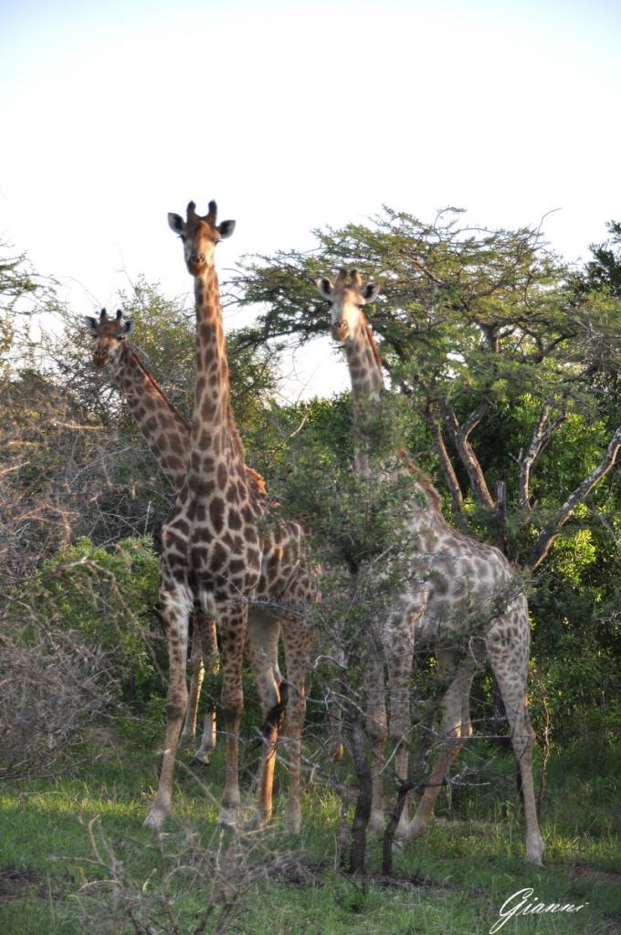 Giraffe in gruppo