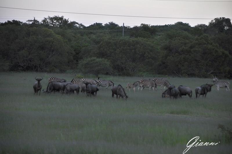 Zebre e gnu al pascolo