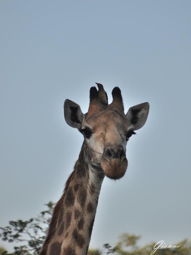 Giraffa con uccello pulitore
