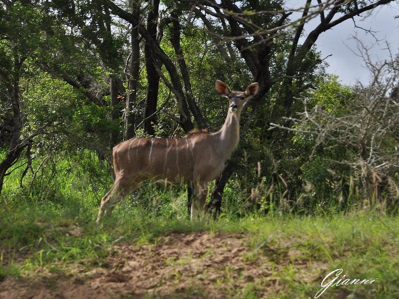 Femmina di Kudu maggiore