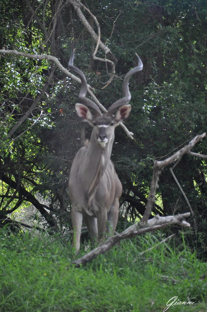 Maschio di Kudu maggiore