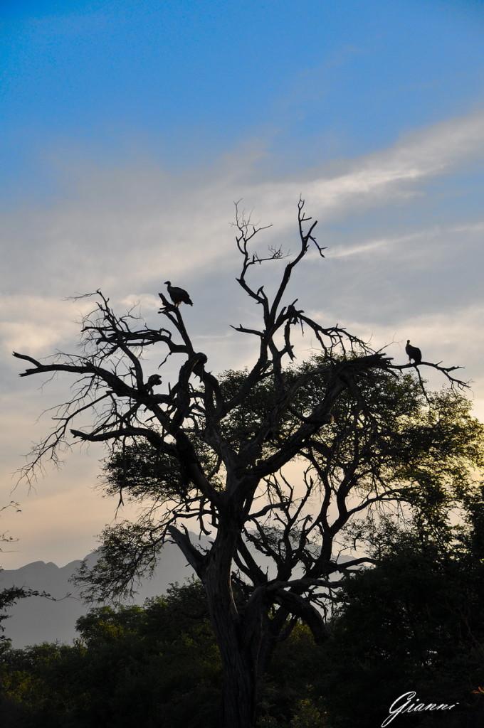 Avvoltoi al tramonto