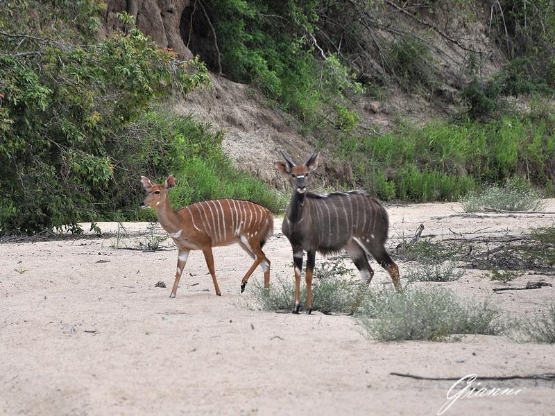 Coppia di Kudu maggiore