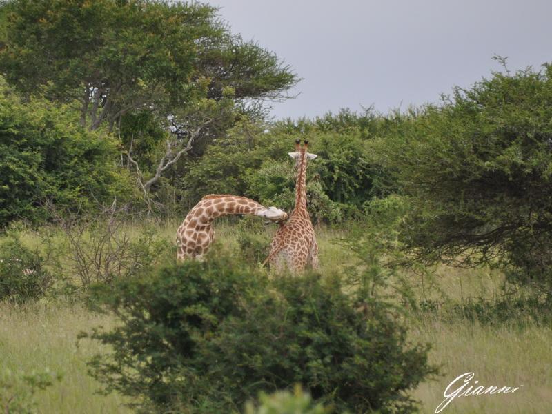 Coccole di giraffa...