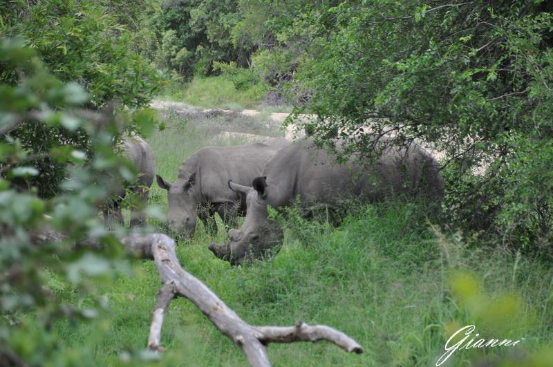 Rinoceronti al pascolo