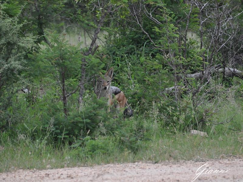 Sciacallo in attesa che le leonesse finiscano il pasto