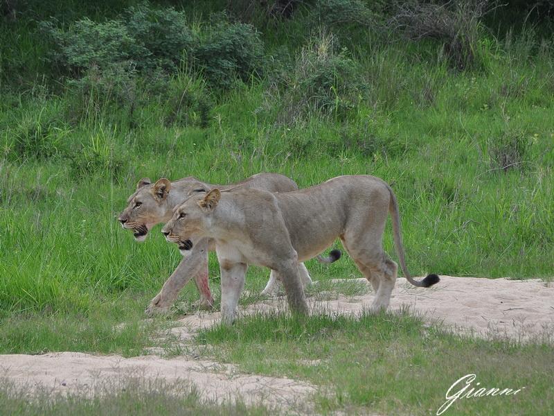 Coppia di leonesse