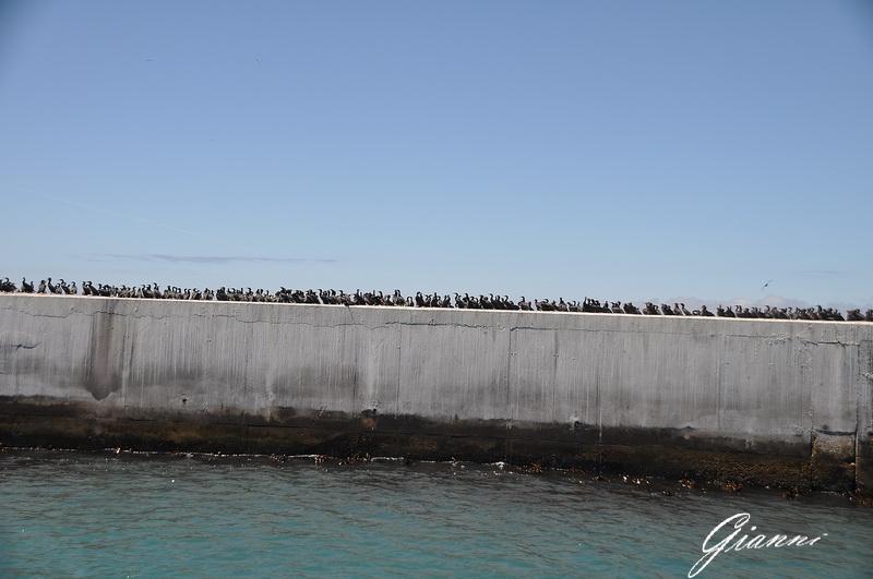 Robben Island - Cormorani sul molo