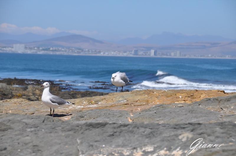 Robben Island - Gabbiani