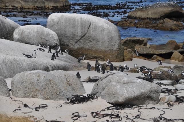 Pinguini a Boulder Beach
