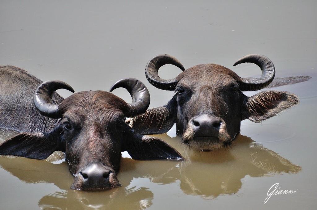 Bufali a bagno!