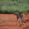 Kenya Tsavo East - Ghepardo
