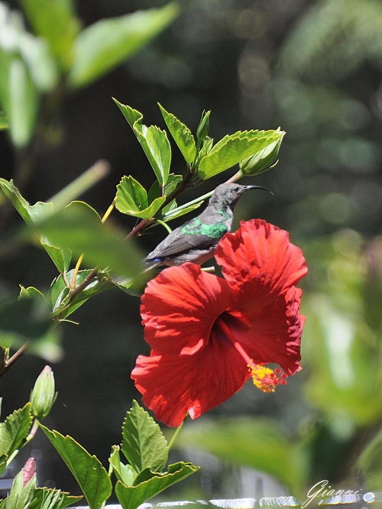 Colibri su Hibiscus