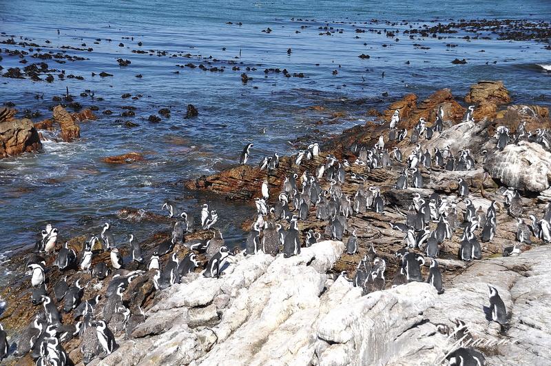 Colonia di pinguini
