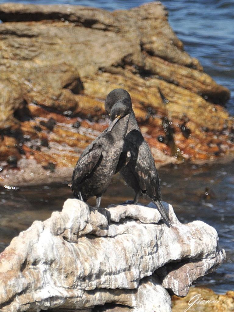 Cormorani al sole