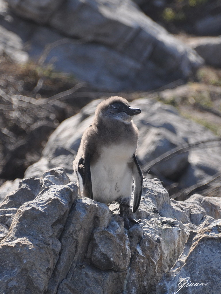 Pulcino di pinguino