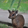 Arumeru River Lodge - Dik dik
