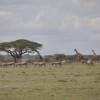 Serengeti - Giraffe, zebre e ... asinelli