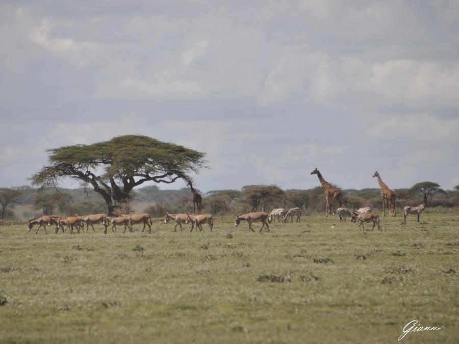 Giraffe, zebre e ... asinelli