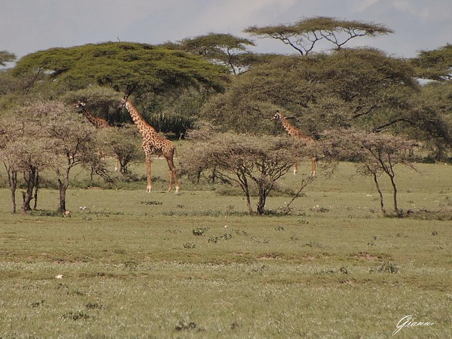 Giraffe tra le acacie