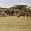 Serengeti - Giraffe tra le acacie